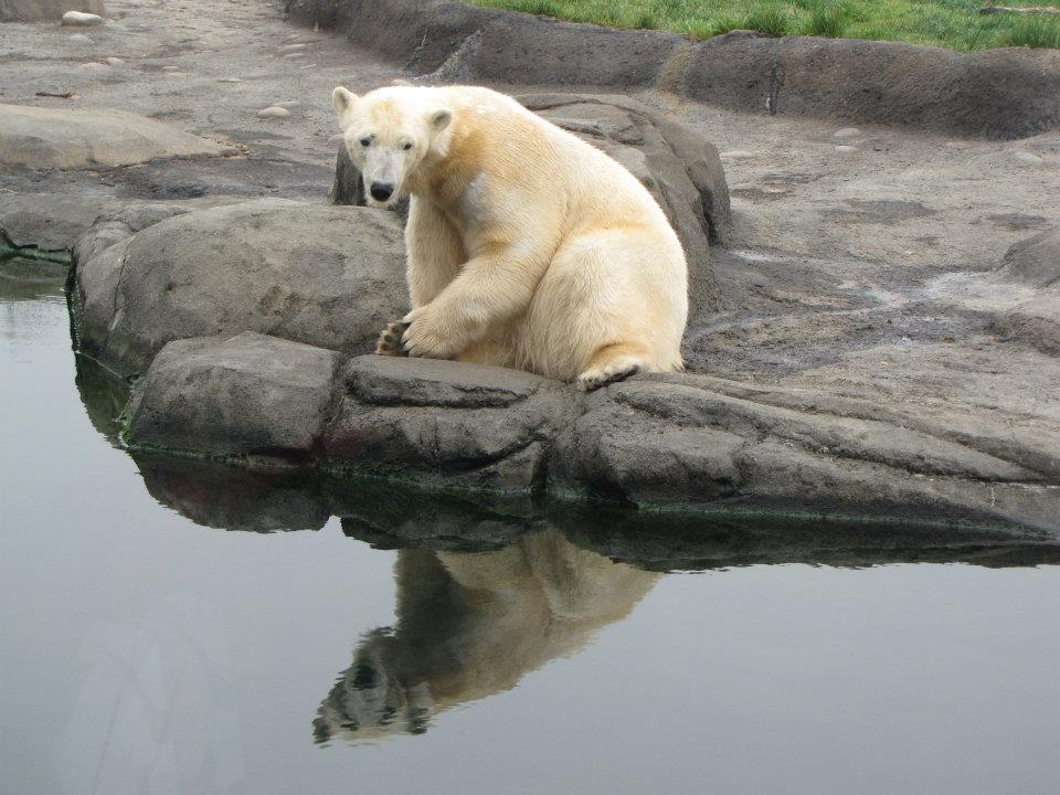 Polar Bear picture.