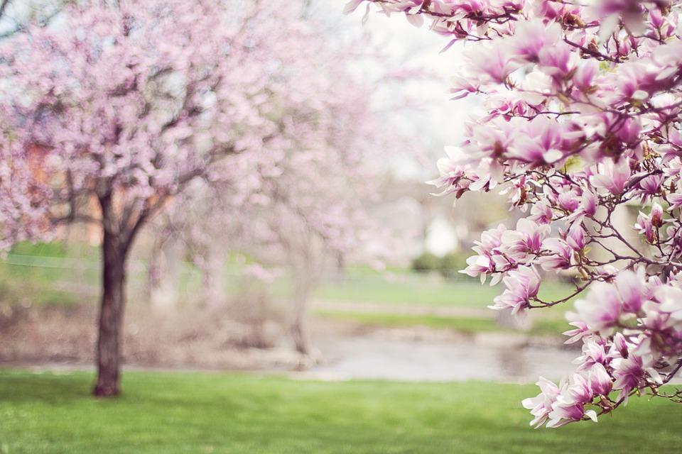 Magnolia Trees Image